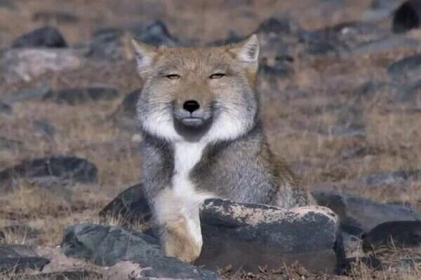 看啥?厭世藏狐天生國字臉 爆萌外表讓日本特地出茶葉包