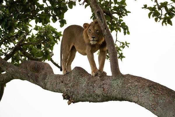 攝影師捕捉到獅子樹上打盹 大肚腩憨樣霸氣盡失!