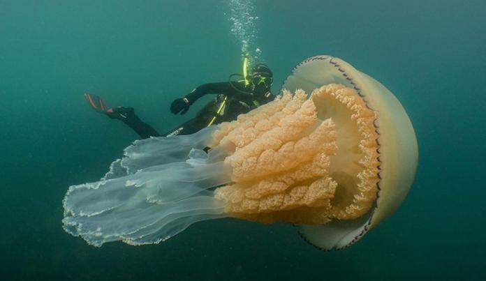 ▲英國生物學家與「怪物級水母」共游的畫面,令人震撼!(圖/翻攝自 Lizzie Daly Wildlife 臉書)