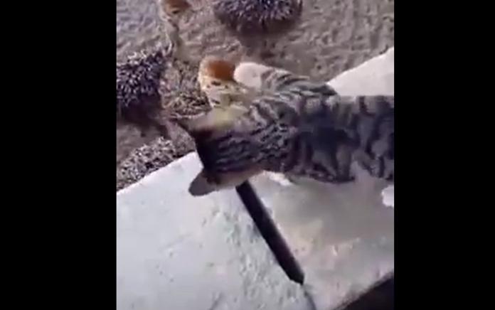 ▲日前網路上流傳著一段影片,內容是一隻屁孩小貓站在一個小高台上,對著下方好幾隻出生沒多久的小鴕鳥用貓拳「狂敲猛打」。(圖/翻攝 Youtube )