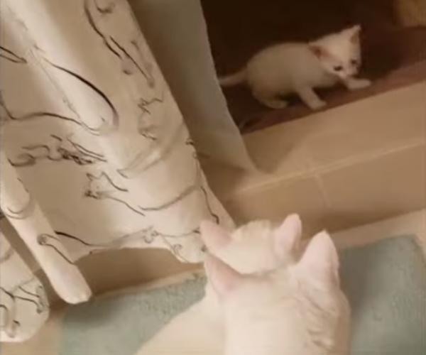 小白貓被同樣喪失聽力大白貓收編 貓哥哥:我們守護你!