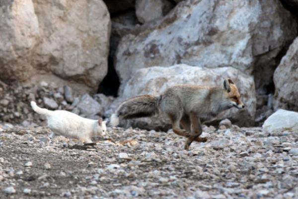 土耳其不只人類超愛貓 連狐狸也被喵星人收服!