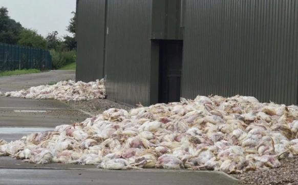 <br> ▲上千隻被高溫悶熱致死的雞隻堆在倉庫外。(圖/翻攝自英國太陽報)