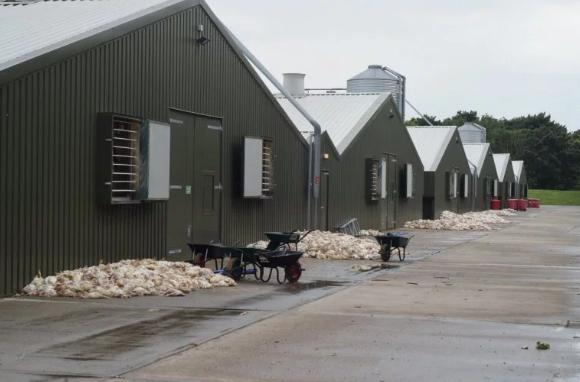 <br> ▲庫房外一堆一堆被悶死的雞隻。(圖/翻攝自英國太陽報)