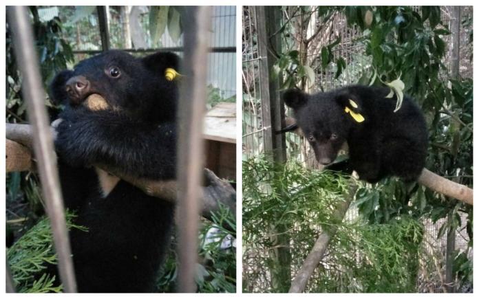 ▲落單的台東廣原小熊在經歷10日原地照養等待後,熊媽媽始終未現身。(圖/林務局台東林區管理處提供)