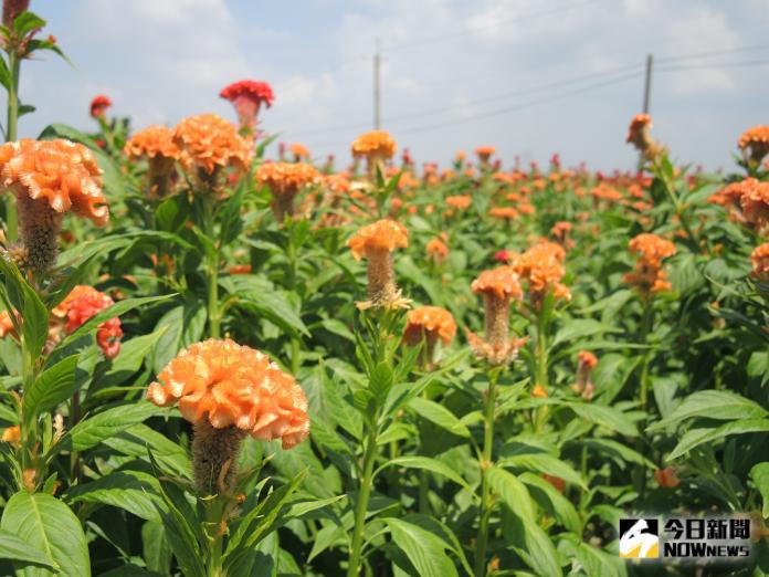 <br> ▲雞冠花的花序排列與雞冠相似,花期最長可達一整年,數大之美在台灣更是少見。(圖/記者陳雅芳攝,2019.08.07)