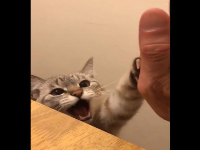萌貓與主人擊掌還附加撒嬌聲 要多少罐罐我全都給啦!