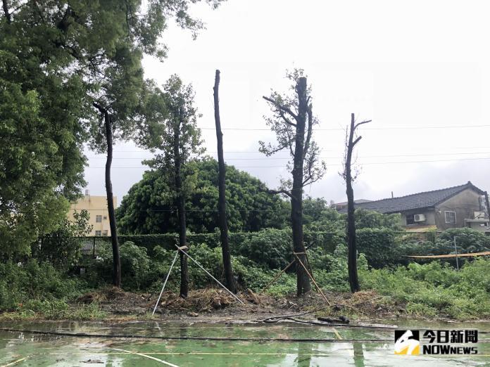 <br> ▲前校長陳金鍠說明澄清,校方已在8月初將五棵樹移植回來,並未遭盜伐。(圖/記者陳雅芳攝,2019.08.12)