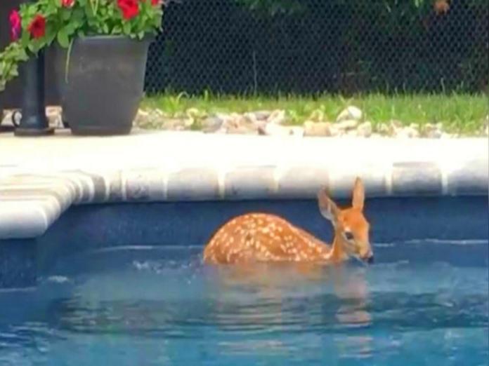 嬌客天天到民宅報到 小鹿:你家<b>泳池</b>借我免費游一下啦!