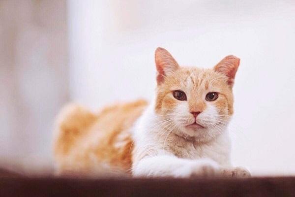 菲律賓貓貓太愛吃 學校只好幫牠舉行典禮提早畢業