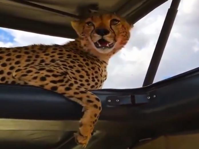 天氣太熱大貓竟然爬上吉普車 獵豹:借納涼一下!