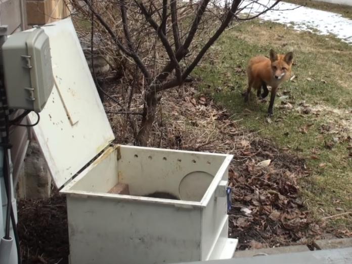 超可愛救援!接獲通知拯救一隻成狐 卻挖出7隻爆萌小狐狸