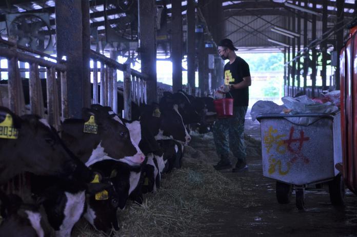 牧場根據牛的作息,於早上、下午各進行一次作業,包含餵食、清潔及擠乳等工作內容。 圖林子淇攝