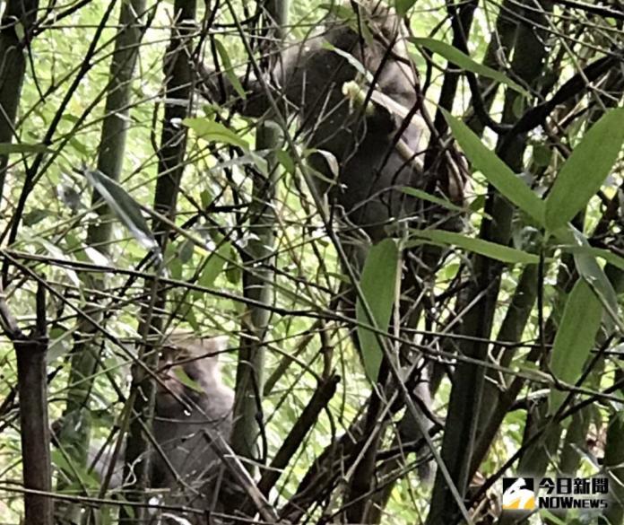▲古坑鄉熱門的二尖山登山步道,時常遇上「賊猴子」偷吃筍子的景像。(圖/記者簡勇鵬翻攝,2019.08.22)