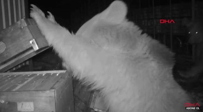 有Bear來養蜂場破壞嗑宵夜! 蜂農乾脆請牠們當試吃<b>評審</b>
