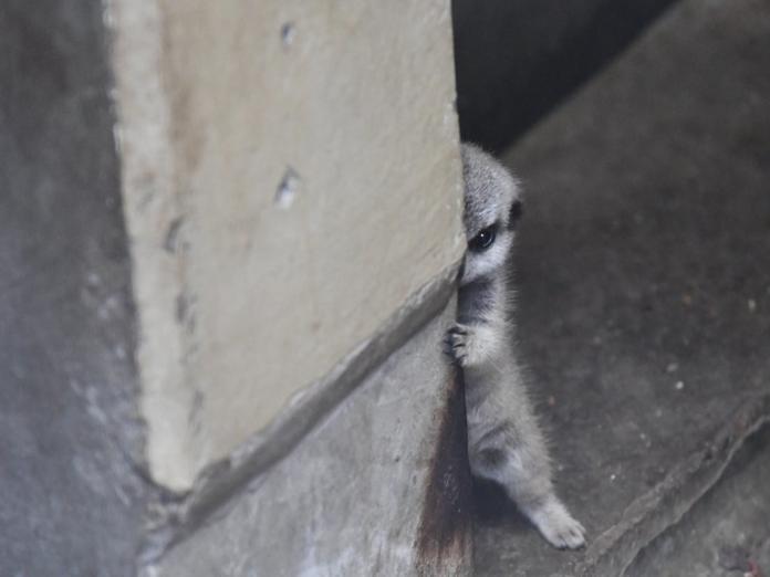 你是角落生物?日本攝影師捕獲害羞小狐獴 萌殺眾網友!