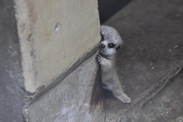 <br> 狐獴寶寶:泥這樣讓偶豪緊張捏……(圖/twitter@mamekoro51)