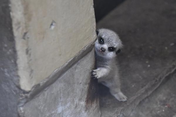 <br> 狐獴寶寶:如果你可以分點心給偶就不緊張了喲!(圖/twitter@mamekoro51)