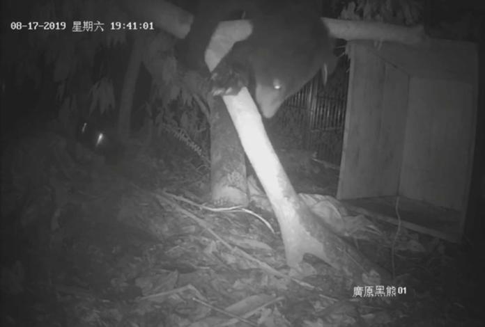 ▲台東廣原小熊在籠內進行探索。(圖/台東林管處提供)