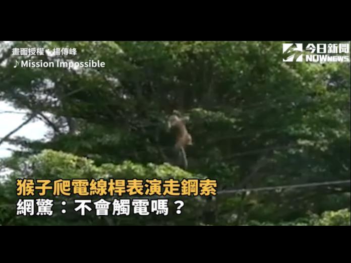 影/猴子爬電線桿表演走鋼索 網驚:不會觸電嗎?