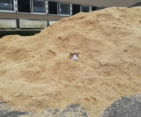 <br> 推主從遠處就發現有個不明物出現在穀物堆裡(圖/twitter@3Zw9lrwMusCABpH)