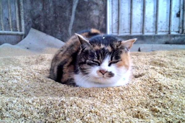 <br> @mikyam1106:我這裡的貓咪也喜歡稻穀!(圖/twitter@mikyam1106)