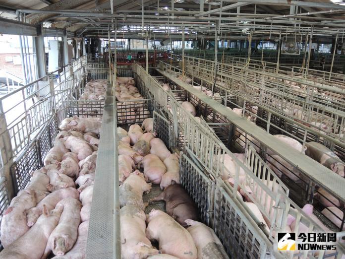<br> ▲烤肉需求大的產地毛豬因豬源充裕、加上毛豬育成率提昇,使得產地拍賣價持續回穩。(圖/記者陳雅芳攝,2019.09.09)