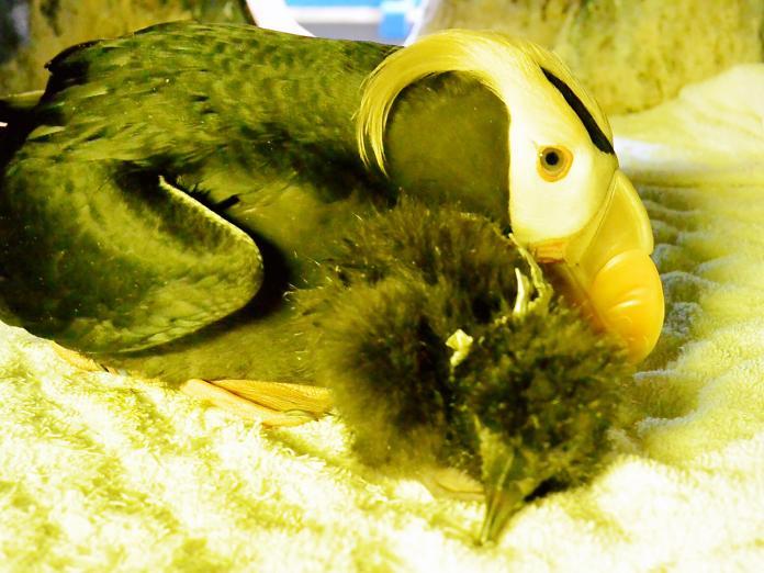 ▲鳳頭海鸚鵡寶寶剛出生時全身是灰黑色,被雙親保護在翅膀下。(圖/海生館提供)