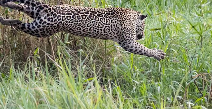 ▲一隻美洲豹跳入河中與鱷魚對決。(圖/翻攝 Youtube SWNS TV )