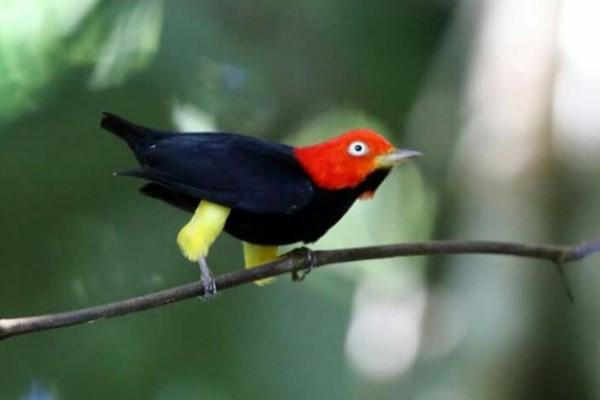 <br> 紅頂侏儒鳥在跳舞時會將身體稍微向前傾斜,並且高速拍動翅膀發出聲音,以吸引雌鳥注意(圖/TDF Blog)