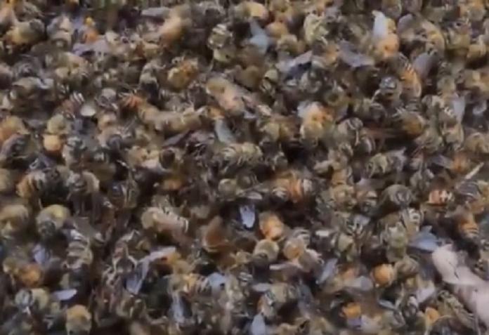 500多萬隻<b>蜜蜂</b>集體死亡 蜂農損失200多萬元