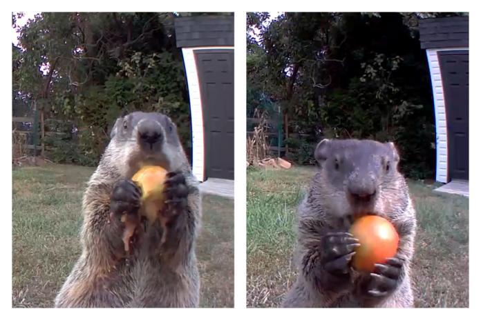 ▲土撥鼠小偷享用大餐時還會看鏡頭。(合成圖/翻攝自 Chunk The Groundhog Youtube )