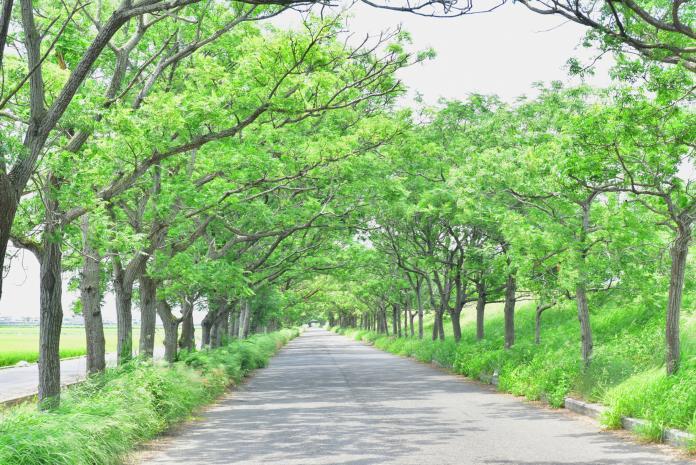 <br> ▲六腳鄉苦楝樹綠色隧道。(圖/嘉義縣文化觀光局提供,2019.09.20)