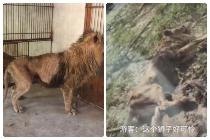 中國大陸「連獅子都吃不飽」 陸媒嘆:台灣節目又來了