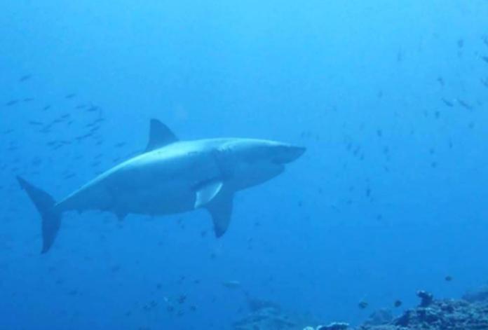 <b>峇里島</b>潛水驚見大白鯊