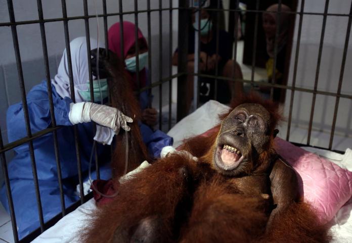太可惡了!<b>盜獵</b>猖獗 印尼瀕危紅毛猩猩中130多槍不治