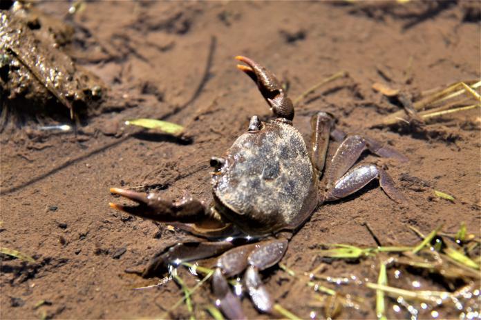 重溫童年!4人「生吃螃蟹」腹痛炸 醫一檢查:蟲鑽進腦