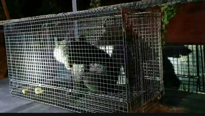 ▲台東縣海端鄉利稻村今日晚間捕獲一隻黑熊。(圖/台東林管處提供)