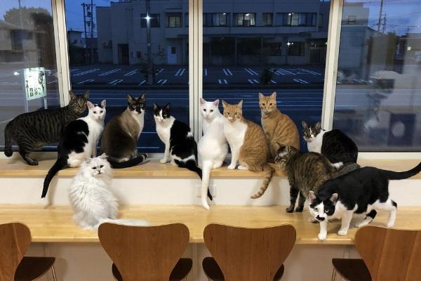 <br> 《福ねこFukuneko》貓咪咖啡廳裡有許多親人的喵星人輪流坐檯陪客人(圖/twitter@猫カフェ福ねこ@福井)
