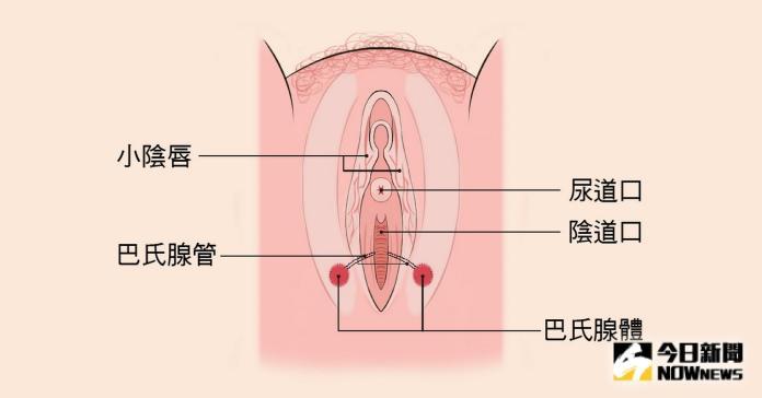 <br> ▲巴氏腺是兩個分別位於陰道口兩側大陰唇中很小的腺體,主要的功能是分泌陰道內所需的潤滑分泌物。(圖/記者陳雅芳攝,2019.10.03)