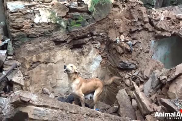 <br> 母狗不斷地發出嗚咽聲,請求人類幫忙救援被埋在殘骸下的小狗(圖/FB@Animal Aid Unlimited)
