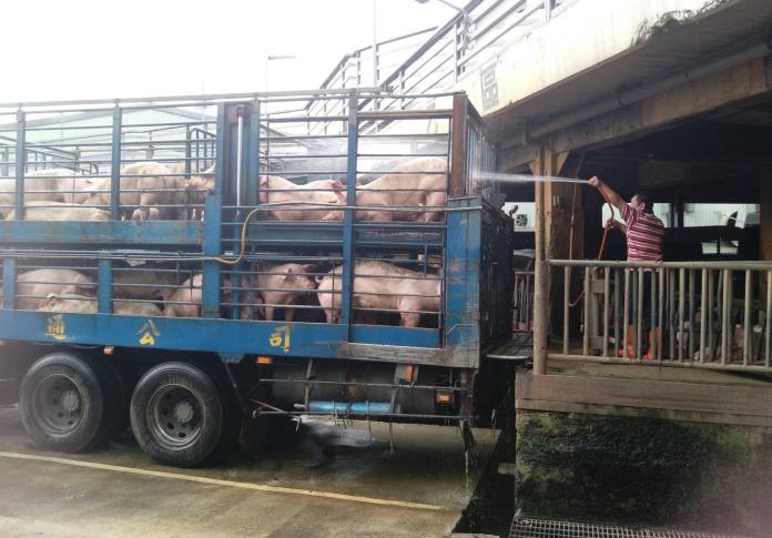 豬隻運送講求人道 木板推移取代電擊、避免牲畜過度驚嚇