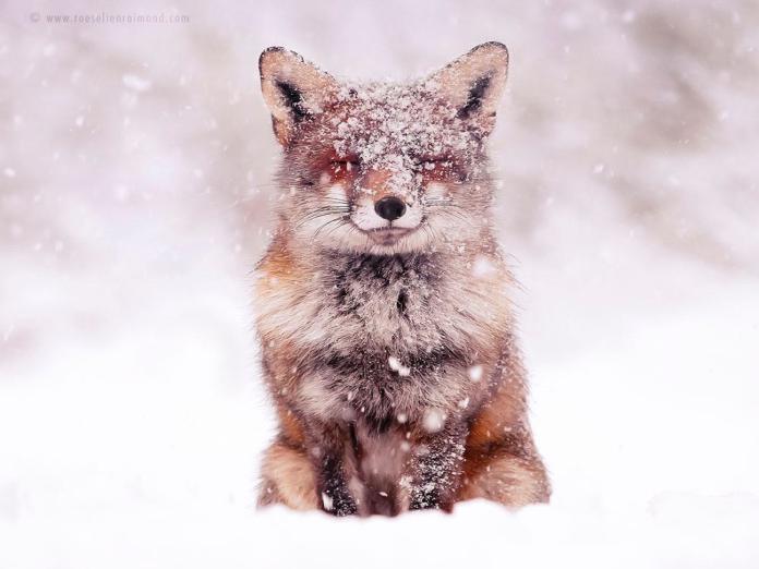荷蘭攝影師愛拍野生狐狸 雪地系列根本就是童話仙境!