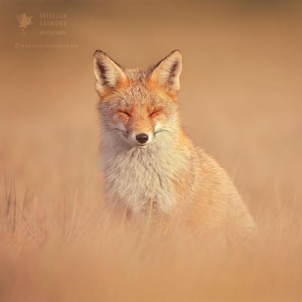 <br> 荷蘭攝影師羅薩琳對野生狐狸情有獨鍾(圖/IG@roeselienraimond)