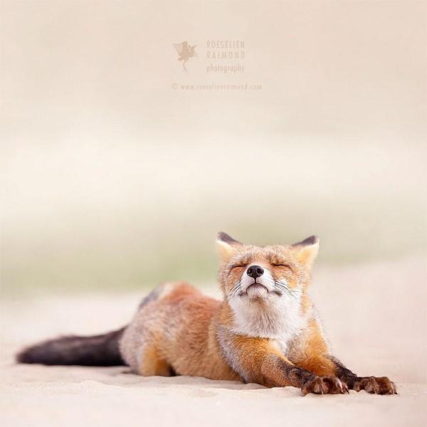 <br> 正在伸展的狐狸,瞇瞇眼的模樣也太可愛了!(圖/IG@roeselienraimond)