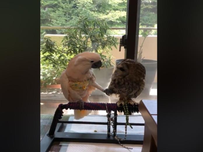 交個朋友嘛!鸚鵡對<b>貓頭鷹</b>示好 偷親伸腳撩羽毛慘遭拒