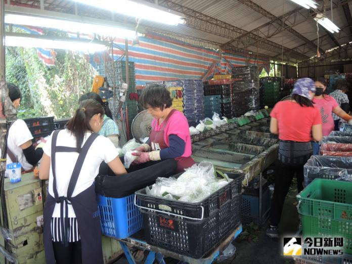 <br> ▲溪州鄉芭樂在產地就篩選分級,品質整齊,相當受到果菜市場愛戴。(圖/記者陳雅芳攝,2019.10.18)