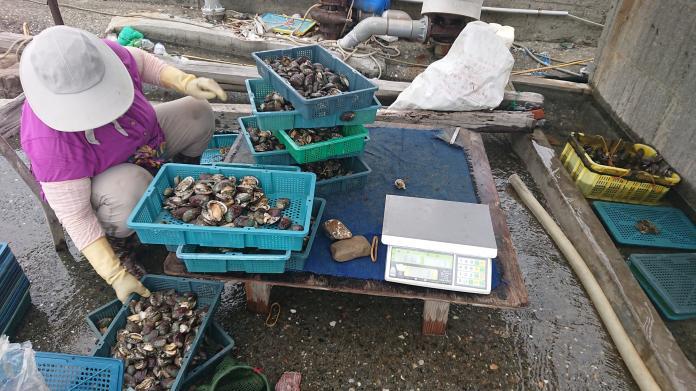 中國鮑魚嚴重打壓「貢寮鮑」 政府禁止進口來台