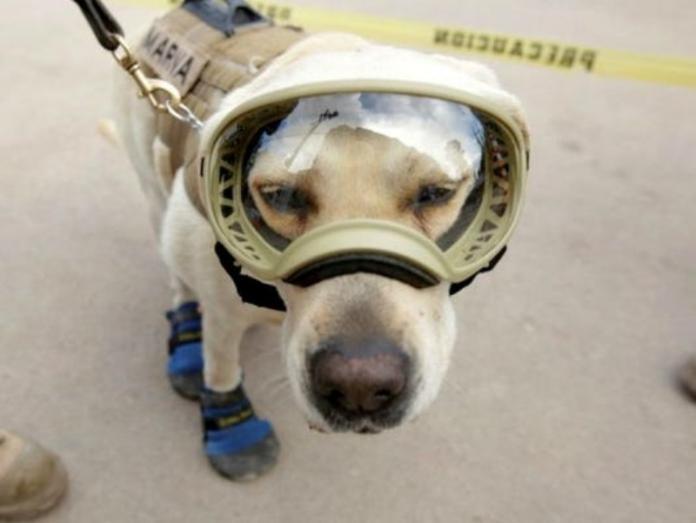 <br> 訓犬員為了保護Frida為牠穿上保護的裝備,許多人對牠的護目鏡造型非常印象深刻。(圖/GlobalPost)