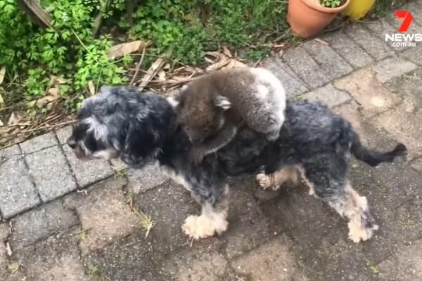 <br> 一隻野生無尾熊寶寶竟然爬上狗狗Tony的背(圖/翻攝自Youtube@7 News Australia)